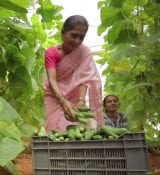 FoodTechIndia farmer collecting cucumber