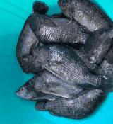 Kamuthanga Tilapia